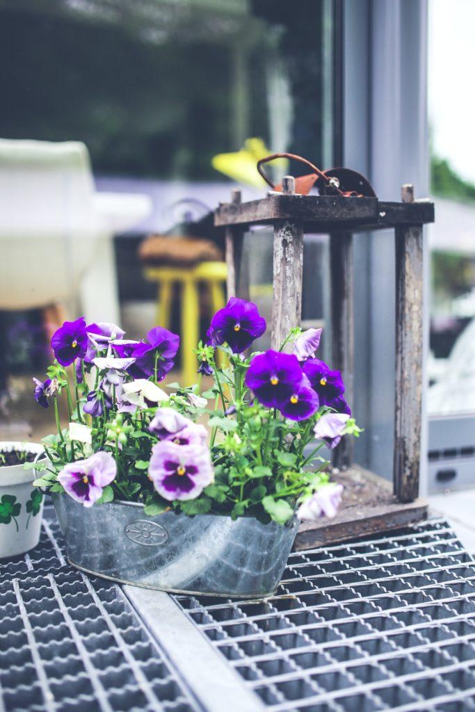 Purple pansies in a metal bucket