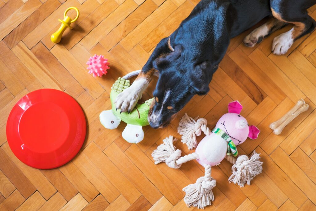 Overhead view of a cute tri-color dog chewing on a brightly colored toy